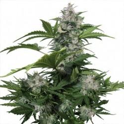 white-dwarf-auto-buddhaseeds-el-cultivar-growshop.jpg