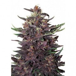 purple-kush-auto-buddhaseeds-elcultivar-growshop.jpg