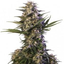 kraken-buddhaseeds-elcultivar-growshop.jpg