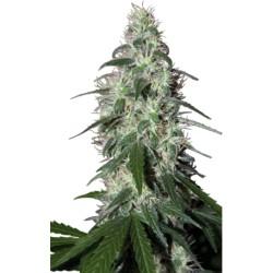 pulsar-elcultivar-growshop.jpg
