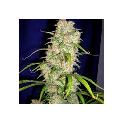 Destroyer-cannabiogen-elcultivar-growshop.jpg