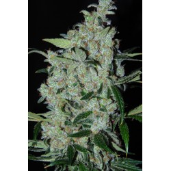Purple_Mexican-cannabiogen-elcultivar-growshop.jpg