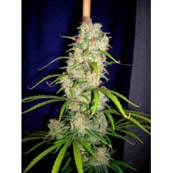 destroyer-regular-cannabiogen-elcultivar-growshop.jpg