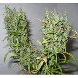 Ghana-regular-cannabiogen-elcultivar-growshop.JPG