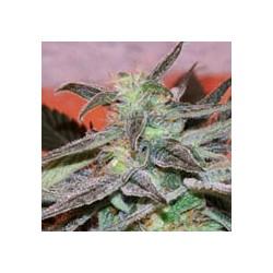 panama_dc-regular-cannabiogen-elcultivar-growshop.jpg