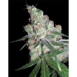 Chocolope-DNA-ElCultivar-growshop