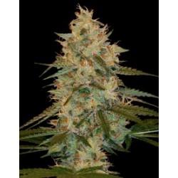 ChocolopeKush-DNA-ElCultivar-growshop
