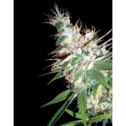 LaWoman-DNA-Elcultivar-growshop