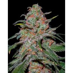 LemonSkunk-DNA-ElCultivar-growshop