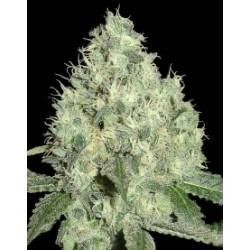 91Krypt-ElCultivar-growshop.jpg