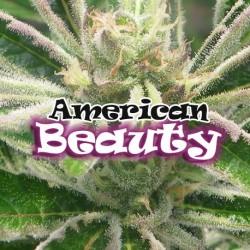 AmericanBeauty-DrUnderground-ElCultivar-growshop.jpg