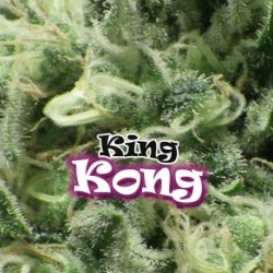KingKong-Dr.Underground-ElCultivar-growshop.jpg
