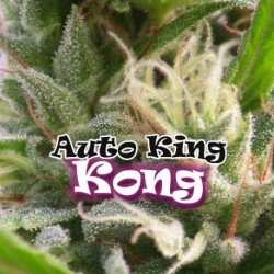 AutoKingKong-DrUnderground-ElCultivar-growshop.jpg