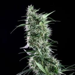 SantaBilbo-Genehtik-Elcultivar-growshop