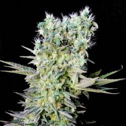 NorthernLightsX-Genehtik-ElCultivar-growshop