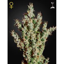NL5HazeMIst-GreenHouse-ElCultivar-growshop