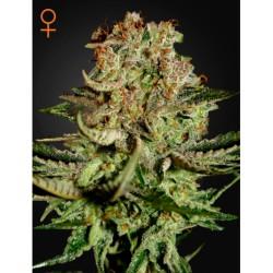 SuperBud-GreenHouse-ElCultivar-growshop