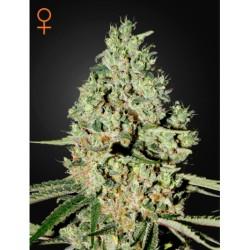 SuperCritical-GreenHouse-ElCultivar-growshop.png