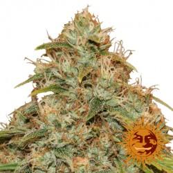 CBDLemonPotionAuto-BarneysFarm-ElCultivar-growshop