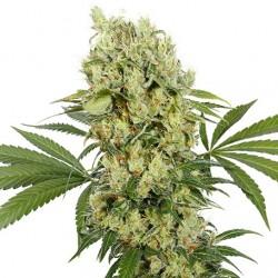 medikit-cbd-buddhaseeds-elcultivar-growshop.jpg