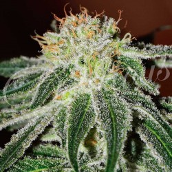 BLACKRUSSIAN-FEM-DELICIOUS-ELCULTIVAR-GROWSHOP.jpg
