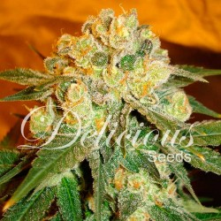 MARMALATE-FEM-DELICIOUS-ELCULTIVAR-GROWSHOP