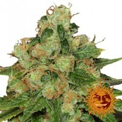 CBDCaramel-Regular-BarneysFarm-Elcultivar-growshop.jpg
