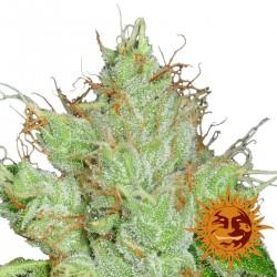 G13Haze-Regular-BarneysFarm-Elcultivar-growshop.jpg