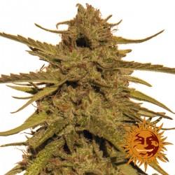 PineappleHaze-Regular-BarneysFarm-ElCultivar-growshop.jpg