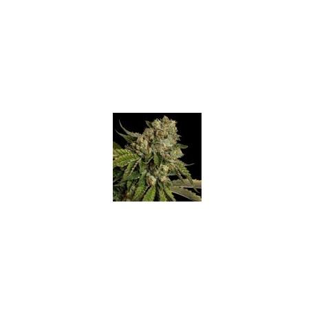 KosherKush-ReservaPrivadaDNA-ElCultivar-growshop.jpg
