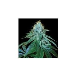 TheOG18-ReservaPrivadaDNA-ElCultivar-growshop.jpg
