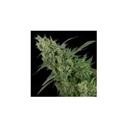doubletangiebanana-Reg-DNA-ElCultiar-growshop