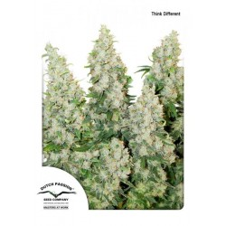 ThinkDifferent-Auto-DutchPassion-ElCultivar-growshop