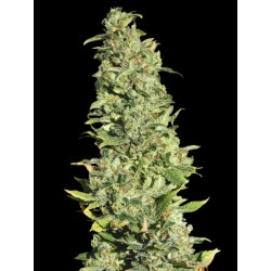 HighLevel-EvaSeeds-Elcultivar-growshop