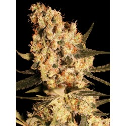 JamaicanDream-EvaSeeds-ElCultivar-growshop.jpg