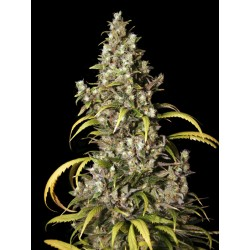 Monster-EvaSeeds-ElCultivar-growshop