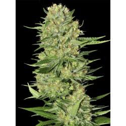 Veneno-EvaSeeds-Elcultivar-growshop