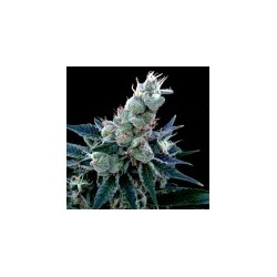DoubleAlien18-GrowYourOwnDNA-ElCultivar-growshop.jpg