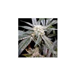 ElFuego-GrowYourOwnDNA-ElCultivar-growshop.jpg