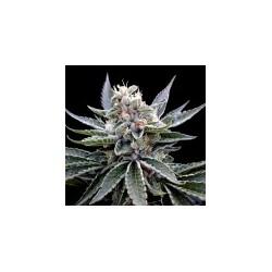 FloridaGold-GrowYourOwnDNA-Elcultivar-growshop.jpg