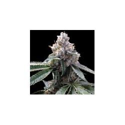 FloridaLemons-GrowYourOwnDNA-ElCultivar-growshop.jpg