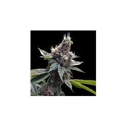 FloridaOG-GrowYourOwnDNA-ElCultivar-growshop.jpg