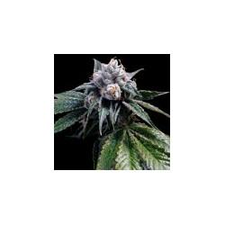 LemonWalker-GrowYourOwnDNA-Elcultivar-growshop.jpg