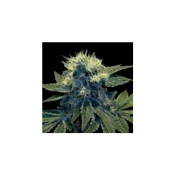 Sharksbreath-GrowYourOwnDNa-Elcultivar-growshop.jpg