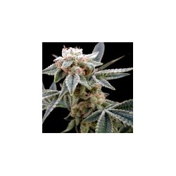 WhiteAlien-GrowYourOwn-ElCultivar-growshop.jpg