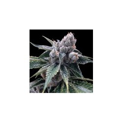 WhiteWalkerKush-GrowYourOwnDNA-ElCultivar-growshop.jpg