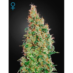 Green-o-matic-Genehtik-Elcultivar-growshop