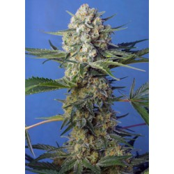 CrystalCandyF1-FastVersion-SweetSeeds-ElCultivar-growshop