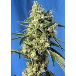 SweetAmnesiaHaze-SweetSeeds-ElCultivar-growshop.jpg