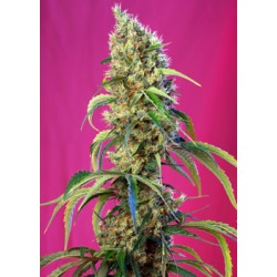 BlackJackCBD-SweetSeeds-ElCultivar-growshop.jpg